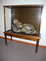 Taxidermy Fox's