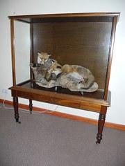 Taxidermy Fox's