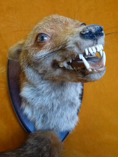 Mounted Fox head and tail