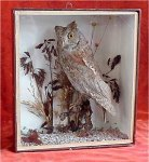 Taxidermy: Scops Owl