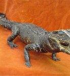 Taxidermy: Crocodile