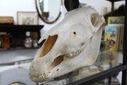 Burchell's Zebra Skull