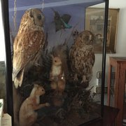 Victorian Taxidermy Owls/Squirrels/Kingfisher