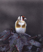 Goldfinch on Red Maple