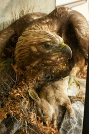 Antique Taxidermy Eagle