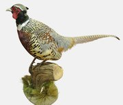 Taxidermy Blue Back Pheasant