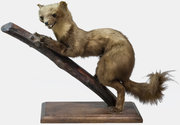 Taxidermy Stone Marten