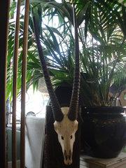 Oryx / Gemsbok mounted horns